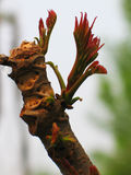 sinensis香椿属 库存照片