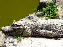 Sinensis аллигатора лежа на утесе Стоковые Фотографии RF