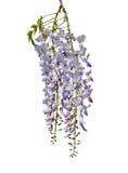 中国紫藤(紫藤sinensis) 库存照片