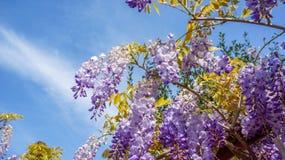 紫藤sinensis 免版税库存照片
