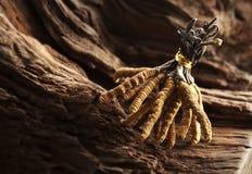 sinensis cordyceps Стоковые Изображения