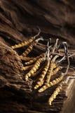Sinensis de Cordyceps Image libre de droits