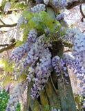 Sinensis de glycine pendant la floraison au printemps photographie stock