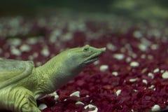 Sinensis de Pelodiscus Tartaruga branca distante Tartaruga em um aquário Tartaruga com um s Foto de Stock