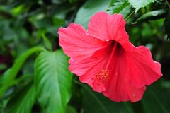 Sinensis de rosa- do hibiscus Imagem de Stock Royalty Free