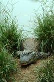Sinensis del coccodrillo Fotografia Stock Libera da Diritti