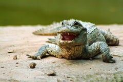 Sinensis del cocodrilo foto de archivo