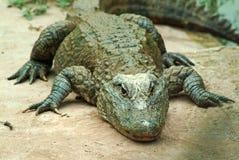 Sinensis del cocodrilo Fotografía de archivo