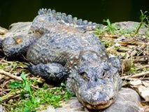 Sinensis del cocodrilo que miente en una roca foto de archivo libre de regalías