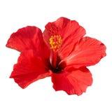 Sinensis del rosa dell'ibisco Fotografie Stock