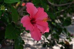 Sinensis del rosa dell'ibisco Fotografia Stock Libera da Diritti