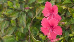 Sinensis del rosa dell'ibisco stock footage