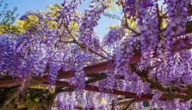 紫藤Sinensis III 库存图片
