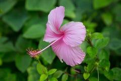 sinensis rosa hibiscus цветка Стоковые Изображения RF