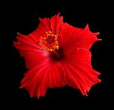sinensis rosa hibiscus Стоковые Фото