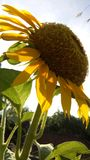 SUNFLOWER AND SUNLIGHT royalty free stock images