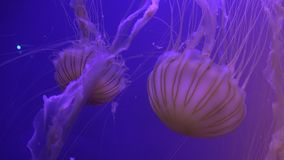 Sinfonía visual en los movimientos espaciales agraciados de una medusa con efecto luminoso almacen de metraje de vídeo