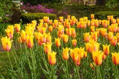 Sinfonia del tulipano Fotografia Stock