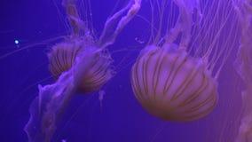 Sinfonia visiva sui movimenti spaziali graziosi di una medusa con effetto della luce video d archivio