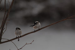 Sing Birds in Winter Royalty Free Stock Images