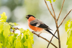Sing a song. Male bullfinch standing on branch with leaves Stock Images