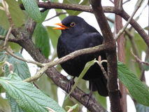 Singalong - Male Common Blackbird - Turdus merula. This Eurasian male blackbird was photographed while singing on my enchanted terrace Stock Images