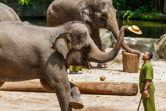 SINGAPORE - APRIL 14: Elephant show in Singapore zoo on April 14 Stock Images
