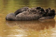 Singapore.Black swan (Cygnus atratus) Royalty Free Stock Images