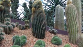Singapore botanisk trädgård några kakturs arkivfoton