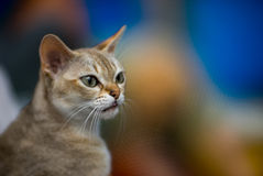 Singapore cat. Portrait - blurred background - cat owner Stock Image