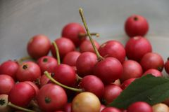 Singapore Cherry Royalty Free Stock Images
