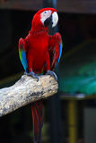 Singapore colored parrot Royalty Free Stock Photography