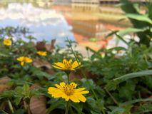 Singapore dailsy flower with shadow of building in water. stock photos