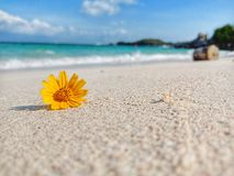 Singapore daisy on beach royalty free stock photo
