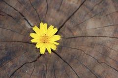 Singapore daisy flower with wood background Royalty Free Stock Image