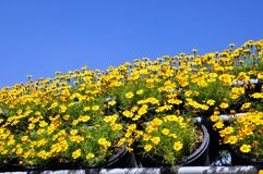 Singapore daisy Stock Image