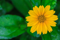 Free Singapore Daisy In The The Garden Stock Image - 45946161