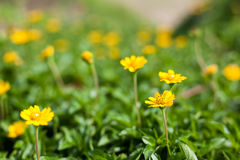 Singapore daisy in Thailand Stock Images
