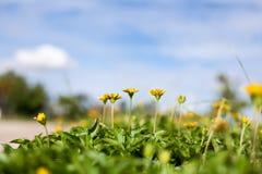 Singapore daisy in Thailand Stock Photos
