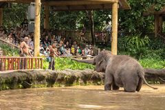 Singapore, December 2018: Asian elephant, Elephas maximus, entertaining visitors in the zoo. stock photography