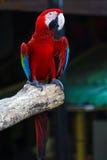 Singapore färgade papegojan Royaltyfri Fotografi