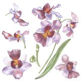 Singapore Flower, Illustration of Vanda Miss Joaquim Flowers. The National Flower of Singapore. Watercolor Hand drawn. Violet orchid isolated on white stock illustration