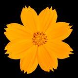 Singapore gialla Daisy Wildflower Isolated sul nero Fotografia Stock Libera da Diritti