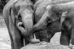 Free Singapore - JUNE 21, 2019: Two Elephants In Each Other`s Company Stock Photos - 160013773