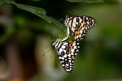 Singapore limefruktbuterflies Fotografering för Bildbyråer