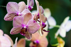 Singapore Orchid Garden Royalty Free Stock Image