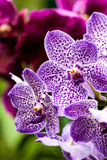Singapore Orchid Garden Stock Photography