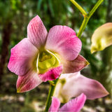 Singapore Orchid, Orchidaceae, Phalaenopsis. Stock Photo