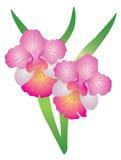Singapore Orchid Vanda Miss Joaquim vector Illustration. Singapore National Flower Vanda Miss Joaquim Orchid Color vector Illustration stock illustration
