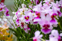 Singapore Orchids Royalty Free Stock Images